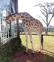 giraffe-manor-Nairobi-Kenya-small
